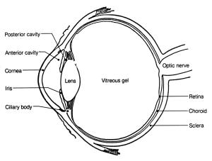 perception of color, the human eye, eye anatomy